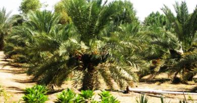 Финиковый сад халифа Усмана (р.а.), который кормит людей на протяжении 1400 лет (фото)